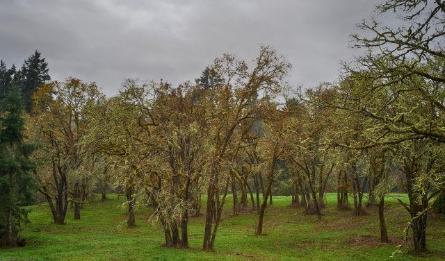 2014-11-03_099 Holm Oak